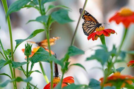 Monarch butterflies on flowers in a garden