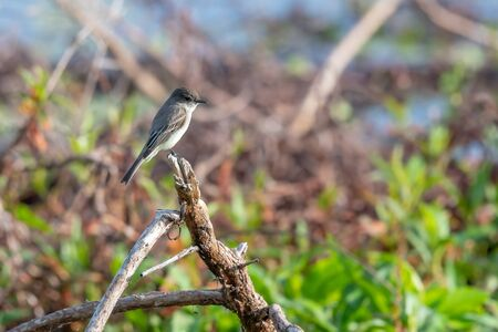 eastern phoebe stops on a branch for a moment