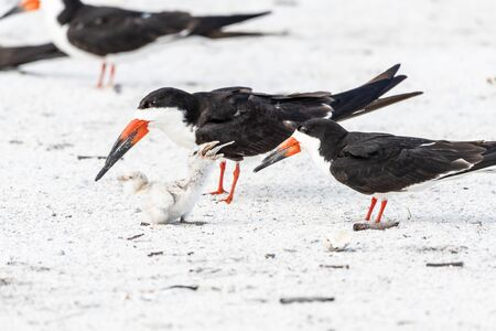 Skimmer chicks and parents on the beach