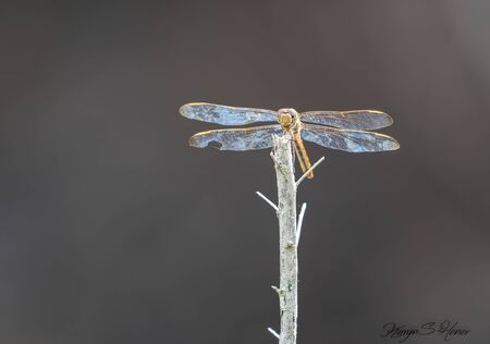 Dragonfly sits perched on a stick in Florida