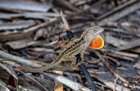 Brown Florida reptile stands his ground as another anole approaches Banco de Imagens