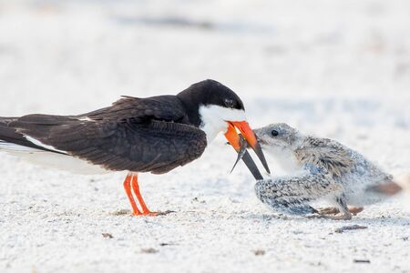 breakfast for a young skimmer chick 免版税图像