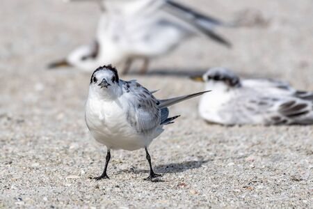 Royal tern on the beach in Florida