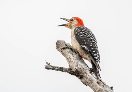 Red bellied woodpecker calls out to another in the distance 免版税图像