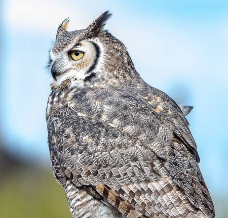 Great horned owl peers off into the distance