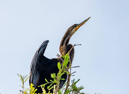 Anhinga drys off its wings while perched in a tree
