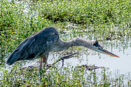 Great blue heron scratches an itch