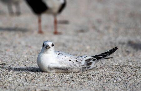 Least tern nesting on a Florida beach