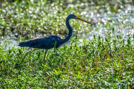 Tri-colored heron hunting for fish