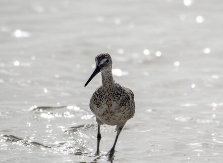 Willet searches for food along the shore in Florida