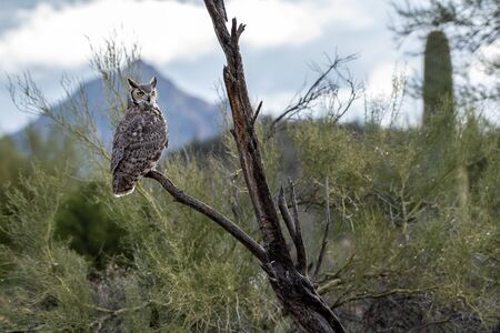 Great horned owl in Arizona with the mountains in the distance and cacti