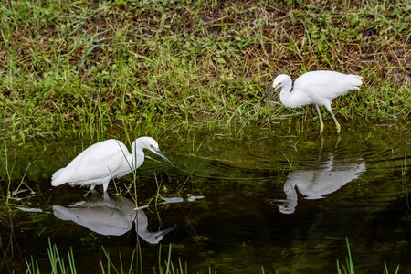 Snowy egrets searching for food at the edge of a pond Stock Photo
