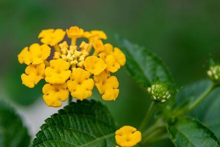 Tiny yellow flowers bunched together (Lantana camara)