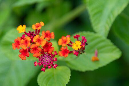 Tiny multi-colored flowers bunched together (Latana camara) 版權商用圖片
