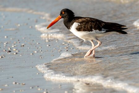 American oyster catcher on the beach is west central Florida