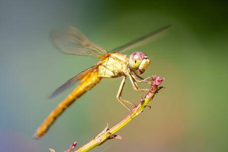 Wandering glider dragonfly - yellow in Florida Фото со стока