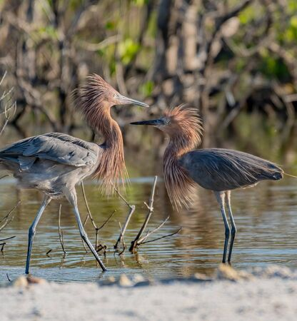 Two reddish egrets fluff their feathers as they meet