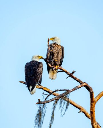 American bald eagle mates looking in opposite directions