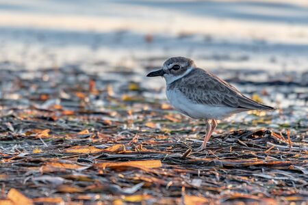 Close up of a piping plover on the shore 免版税图像