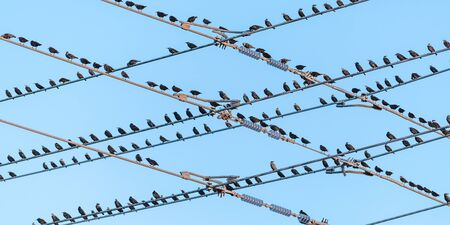 Flock of starlings fill the telephone wires in a criss-cross pattern