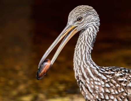 Profile of a limpkin with a snail in its bill Stock Photo - 131682849
