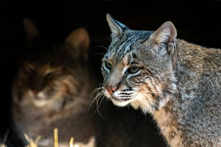 Up close to two bobcats