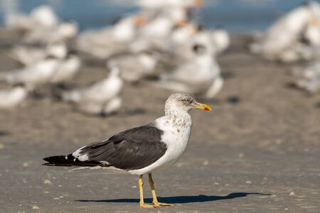 Lesser black backed gull in a flock of terns on the beach Foto de archivo