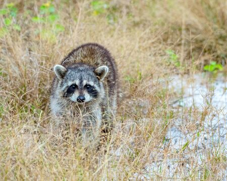 Raccoon approaches from a field in Florida
