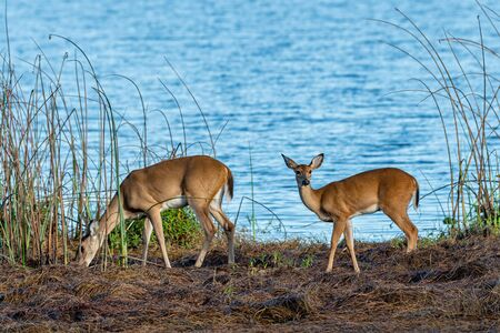 Family of wild white tailed deer by the edge of a lake