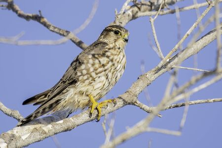 Merlin perched on a branch scanning the scenery for it's next meal