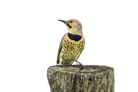 Northern flicker sits on a stump, white background