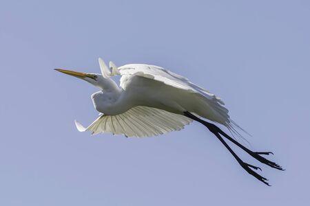 Great egret flys left