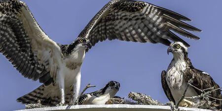 Juvenile osprey learning to fly Stock Photo