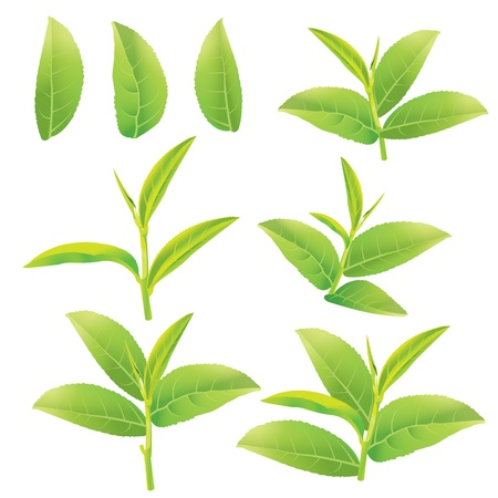 green tea leaf: Leaves of green tea Illustration
