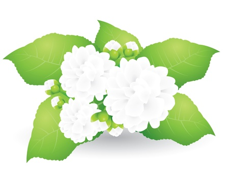 Jasmine isolated on white background Vector