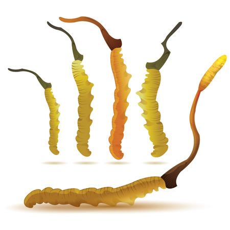 chinese medicine: vector illustration of cordyceps set in isolated white