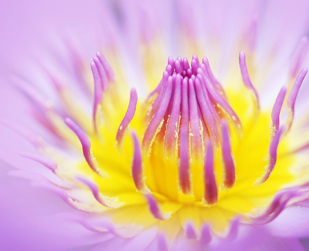 carpel: Purple lotus Flower Closeup abstract natural background