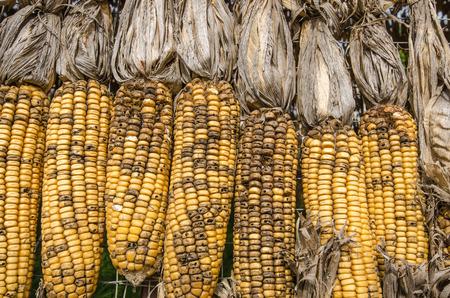 transgenic: Closeup many colorless dried corns pattern background