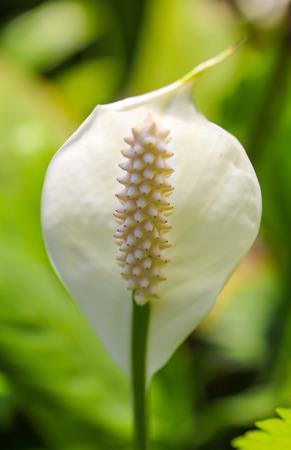 spadix: Closeup white spadix flower Stock Photo