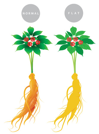 Ginseng root with leaf and flower isolated on white background. Vector illustration. China and korea herbal