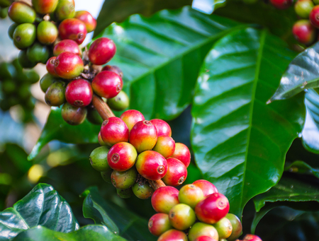 ripening: Close up arabica coffee beans with leaf get ripening on a tree Stock Photo