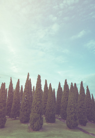 garden styles: Garden of pine trees with cloud and blue sky. Vintage style