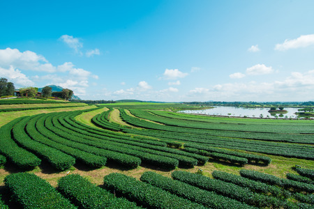 sky cloud: Tea plantation with blue sky and cloud.