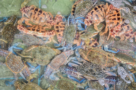 blue swimmer crab: Flower crab, Blue crab, Blue swimmer crab, Blue manna crab, Sand crab, Portunus pelagicus, In oxygen tank, Raw seafood in market