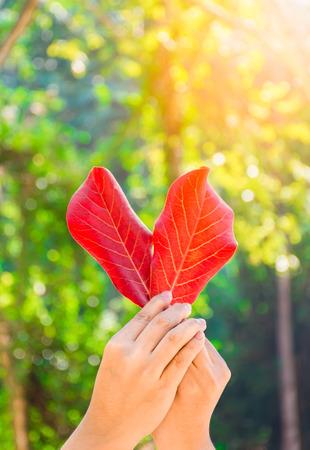 leaf shape: Hand held red leaf of heart shape. Love nature concept