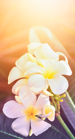 yellow flower tree: Plumeria flowers with colors and light in the summer. design for brochure, roll up of summer