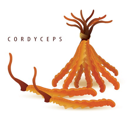 vector illustration of cordyceps set isolated white. (Dong chong xia cao). China herbal Illustration