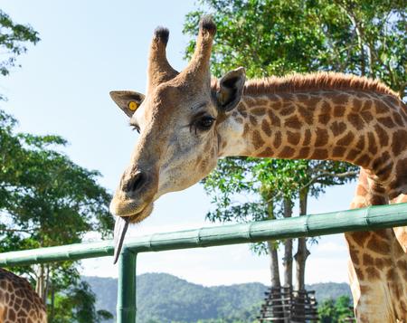 Closeup of beautiful Giraffe showing Tongue. 스톡 콘텐츠