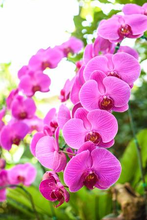 Closeup pink orchid flower in garden.