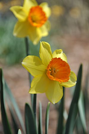 yellow daffodil flower with out of focus flower in background